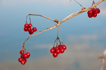 guelder rose berry: red viburnum berries on a bush Stock Photo