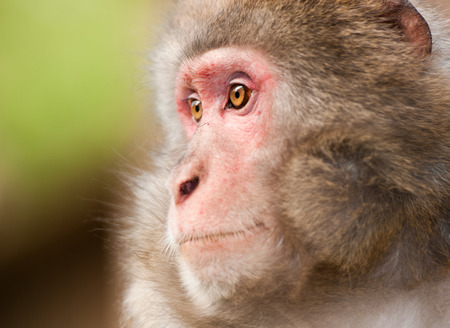 side face portrait of a macaque monkey