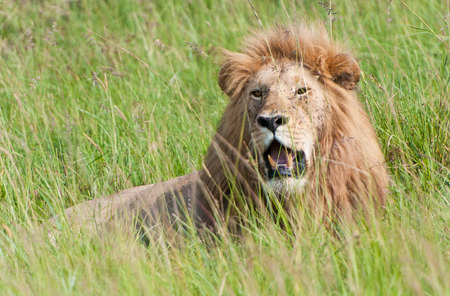 male lion looking through the high savannah grass - national park masai mara in kenya photo