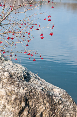 guelder rose berry: red viburnum berry bush growing on the shore of a lake near a stone