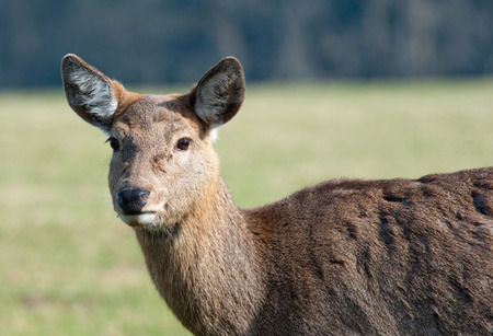 confiding: portrait of a female red deer