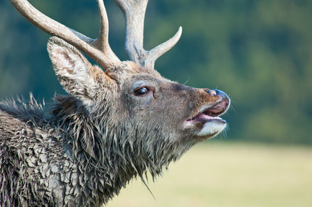 side face portrait of a belling stag Stock Photo