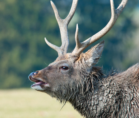 side face portrait of a belling stag photo