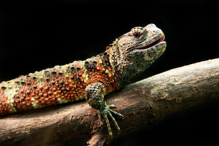 acuminate: colorful iguana resting on a tree trunk isolated on a black background Stock Photo