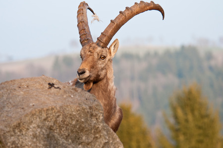 ibex in the mountains photo