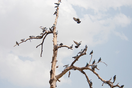 flock of pigeons on a treetop photo