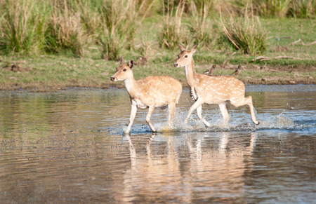 chital or spotted deer running through the water in the national park ranthambhore in india - rajasthan photo