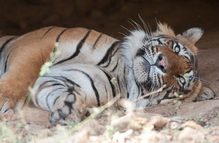 closeup of a Bengal tiger in a cave looking at camera - national park ranthambore in india - rajasthan Archivio Fotografico