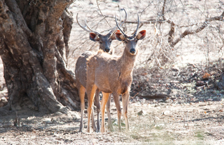 young sambar deer in the forest looking at camera - national park ranthambore in india - rajasthan photo