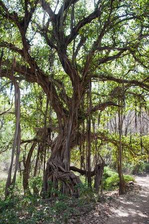 banyan fig tree - ficus bengalensis in the national park ranthambore in india - rajasthan photo