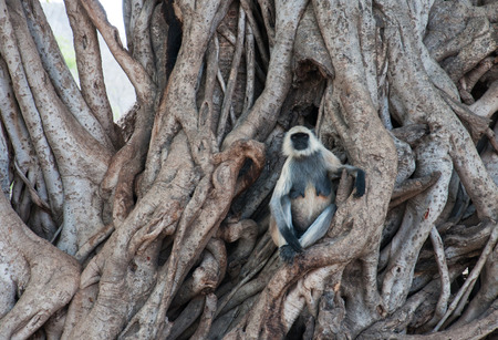 anthropoid: common langur monkey sitting in the roots of a huge tree - national park ranthambore in india - rajasthan