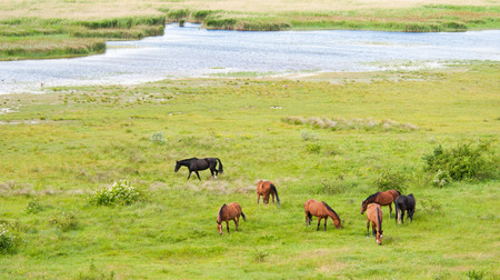 grazing horses on the pasture - Neusiedlersee in Burgenland - Austria photo