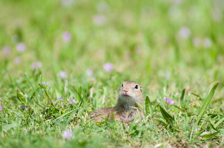 european ground squirrel in the lawn surrounded by purple flowers photo