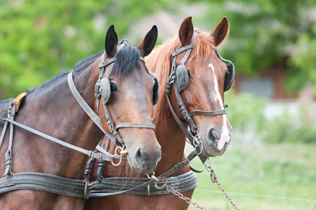 blinkers: portrait of carriage driving horses