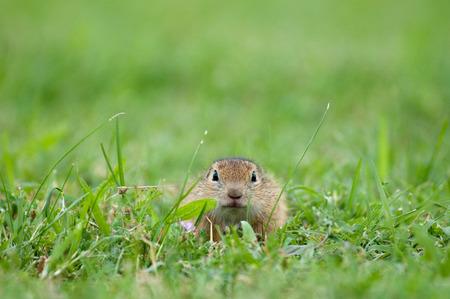 european ground squirrel hidden in the grass