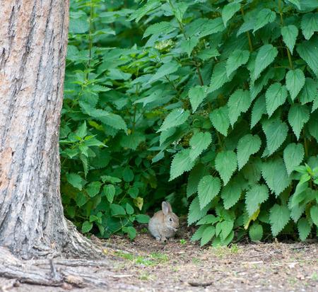 stinging  nettle: small rabbit hiding in a stinging nettle bush