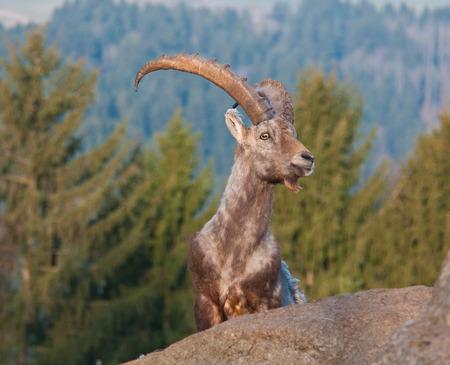 detritus: ibex in the mountains