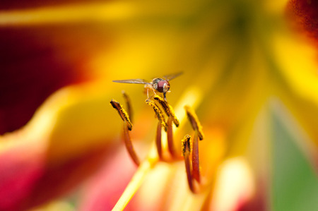 ichneumonidae: hoverfly on a colorful daylily sucking nectar
