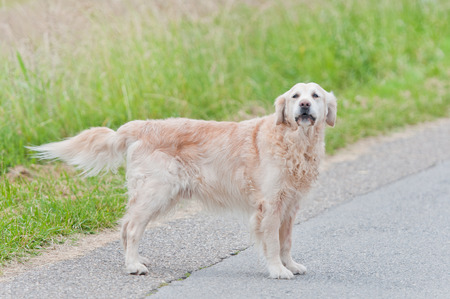 golden retriever dog standing on the wayside waiting for its owner