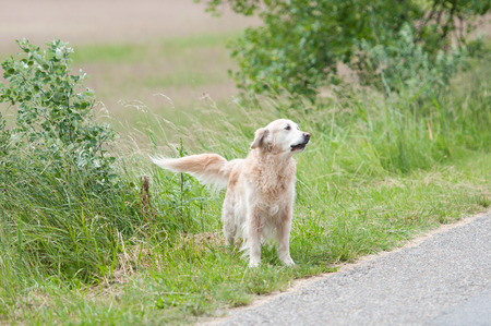 eared: straying golden retriever dog on the wayside