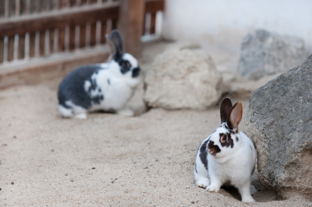 confiding: two black and white patterned rabbits in a children s zoo