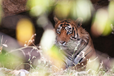 indian tiger in a cave hidden behind a bush - national park ranthambore in india - rajasthan