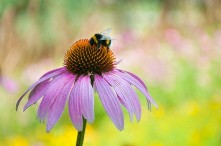 echinacea purpurea: bumblebee sucking nectar on an echinacea purpurea flower head