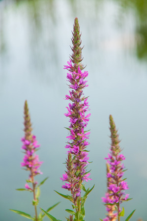 hydrophyte: closeup of a purple loosestrife flower on a pond Stock Photo