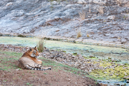 rivulet: Bengal tiger lying lazy near a rivulet