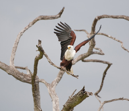 haliaeetus: african fish eagle starting to fly from a dead standing tree - national park selous game reserve in tanzania Stock Photo
