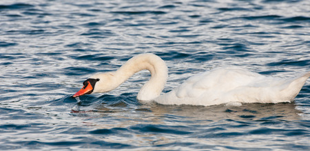 swimming swan: swimming swan drinking water