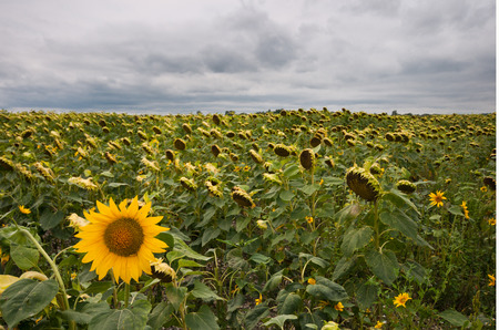 field of sunflowers on a gloomy day