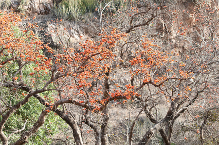flourished: flame of the forest trees in the national park ranthambore in india rajasthan Stock Photo