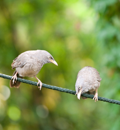 two jungle babbler birds sitting on a rope national park ranthambore in india rajasthan