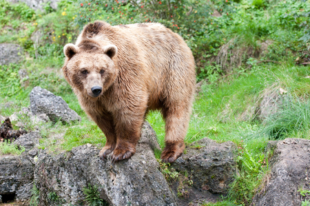 european brown bear in the mountains