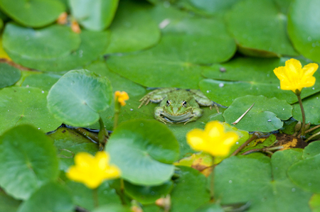 green tree frog in a pond with lily pads