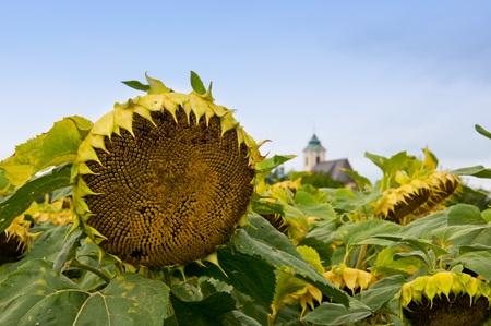 oratoria: sunflowers in front of a chapel