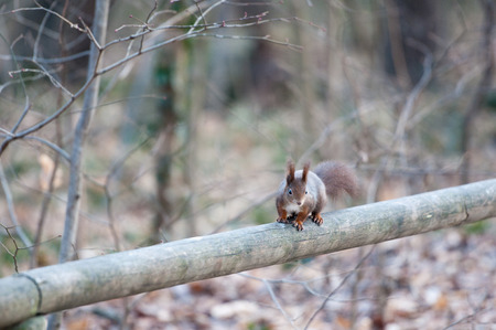 confiding: red squirrel sitting on a wooden handrail in the forest Stock Photo