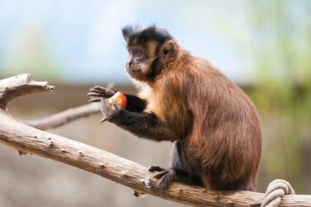 capuchin monkey sitting on a tree branch eating an apple