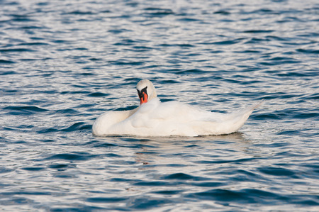 swan swimming on the lake cleaning its plumage Stock Photo