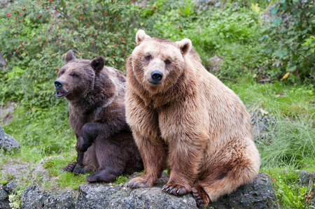 european brown bear couple sitting on a stone in the forest Stock Photo