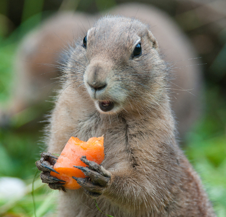 black tailed prairie dog eating a carrot Stock Photo