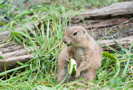 black tailed prairie dog sitting in the grass eating a piece of zucchini