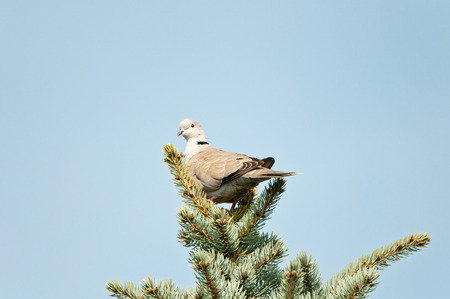 silver perch: pigeon sitting on the top of a conifer Stock Photo
