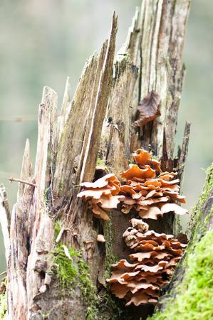 fungous: mushrooms on a dead standing tree stump