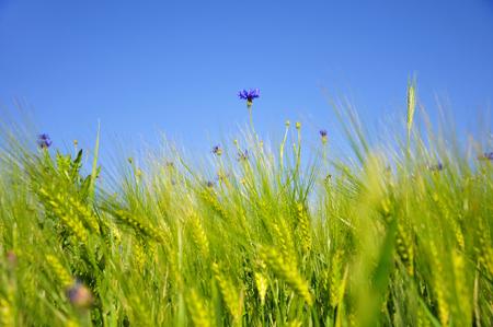 blue cornflower growing out of a wheat field