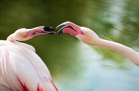 portrait of two quarreling flamingos in the pond