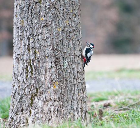 bird song: great spotted woodpecker on a walnut tree