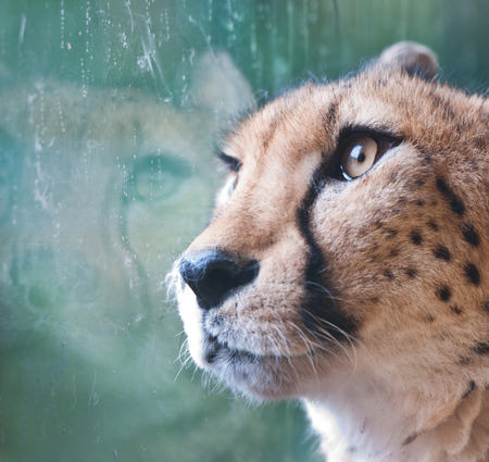 caged cheetah looking through a window glass in a zoo on a rainy day