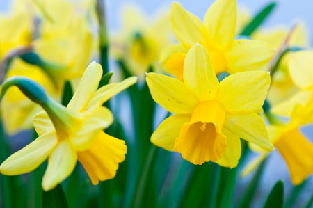 bunch of yellow narcissus flowers